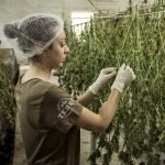 Cannabis farming and processing